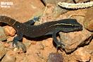 "<span class=""nc"">Saurodactylus brosseti</span>.<br />Localidad: Agdz<br />Foto: © Gabri Mtnez"