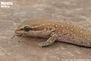 "<span class=""nc"">Saurodactylus brosseti</span>.<br />Localidad: Agadir<br />Foto: © Juan Pablo González de la Vega"