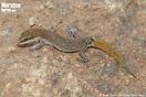 "<span class=""nc"">Saurodactylus brosseti</span>.<br />Localidad: Tiznit<br />Foto: © Juan Pablo González de la Vega"