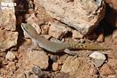 "<span class=""nc"">Saurodactylus brosseti</span>.<br />Localidad: Agadir<br />Foto: © J. Gállego"
