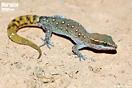 "<span class=""nc"">Saurodactylus brosseti</span>.<br />Localidad: Bou Izakarn<br />Foto: © Gabri Mtnez"