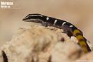 "<span class=""nc"">Saurodactylus brosseti</span>.<br />Localidad: Itch<br />Foto: © Enrique Ruiz Ara"