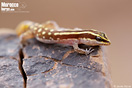 "<span class=""nc"">Saurodactylus brosseti</span>.<br />Localidad: Agdz<br />Foto: © Javier Aznar"