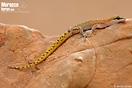 "<span class=""nc"">Saurodactylus brosseti</span>.<br />Localidad: Tiznit<br />Foto: © Javier Aznar"
