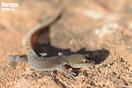 "<span class=""nc"">Saurodactylus brosseti</span>.<br />Localidad: Argana<br />Foto: © J. Gállego"