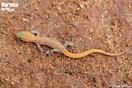 """<span class=""""nc"""">Saurodactylus fasciatus</span><br />Localidad: Ben Slimane<br />Foto: © Philip de Pous"""