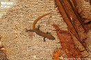 """<span class=""""nc"""">Saurodactylus fasciatus</span><br />Localidad: Khemisset<br />Foto: © Juan Pablo González de la Vega"""