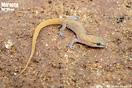 "<span class=""nc"">Saurodactylus fasciatus</span><br />Localidad: Fes<br />Foto: © Wouter Beukema"