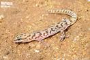 "<span class=""nc"">Saurodactylus fasciatus</span><br />Localidad: Ben Slimane<br />Foto: © Wouter Beukema"
