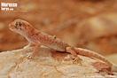 <em>Stenodactylus mauritanicus</em><br />Localidad: Assa<br />Foto: © Baudilio Rebollo Fernández