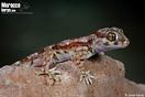 <em>Stenodactylus mauritanicus</em><br />Localidad: Tan-Tan<br />Foto: © Javier Aznar