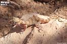 <em>Stenodactylus mauritanicus</em><br />Localidad: Assa<br />Foto: © David Hegner