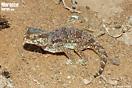 <em>Stenodactylus mauritanicus</em><br />Localidad: Guelmin<br />Foto: © Gabri Mtnez
