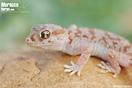 <em>Stenodactylus mauritanicus</em><br />Localidad: Assa<br />Foto: © Gabri Mtnez