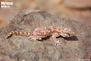 <em>Stenodactylus mauritanicus</em><br />Localidad: Fask<br />Foto: © Gabri Mtnez