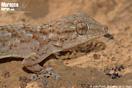 <em>Tarentola mauritanica</em><br />Localidad: Argana<br />Foto: © Juan Pablo González de la Vega