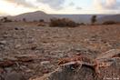 <em>Tropiocolotes algericus</em>. <br />Localidad: Assa<br />Foto: © Javier Aznar