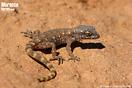 <em>Tropiocolotes algericus</em>. <br />Localidad: Oued Siyad<br />Foto: © Octavio Jiménez Robles