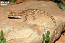 <em>Tropiocolotes algericus</em>. <br />Localidad: Assa<br />Foto: © Gabri Mtnez
