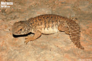 <em>Uromastyx nigriventris</em>. Juvenil. <br />Localidad: Assa<br />Foto: © Gabri Mtnez