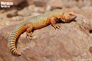 <em>Uromastyx nigriventris</em>. <br />Localidad: Assa<br />Foto: © Gabri Mtnez