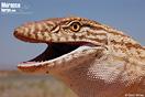 "<span class=""nc"">Varanus griseus</span>. <br />Localidad: Bou Arfa<br />Foto: © Gabri Mtnez"