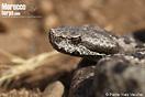 """<span class=""""nc"""">Vipera monticola</span>.<br />Localidad: Alto Atlas<br />Foto: © Pierre-Yves Vaucher"""