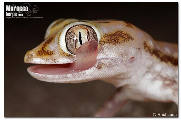 Stenodactylus petrii