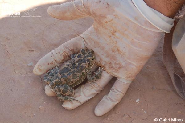Uso de guantes desechables para manipular anfibios