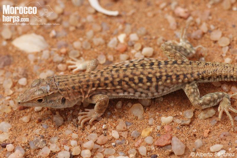 Acanthodactylus