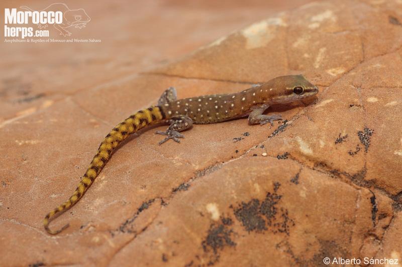 Saurodactylus brossetti