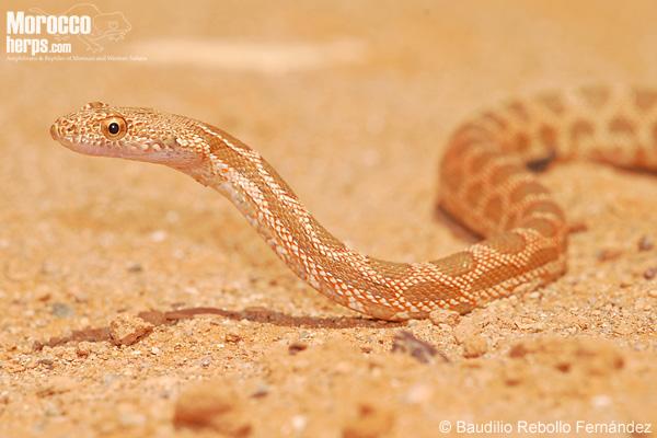 Spalerosophis dolichospilus