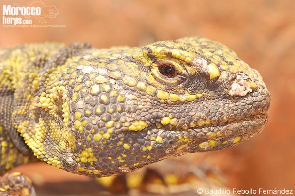 Saudodactylus brosseti