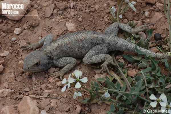 Agama cf. impalearis