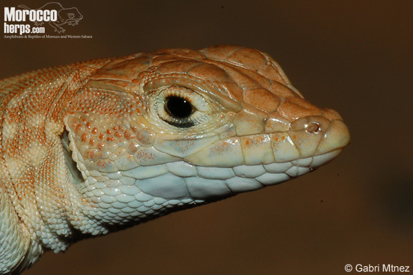 Acanthodactylus maculatus