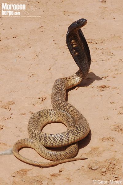 Cobra norteafricana (Naja haje)