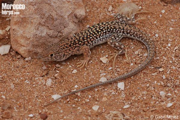 Acanthodactylus busacki