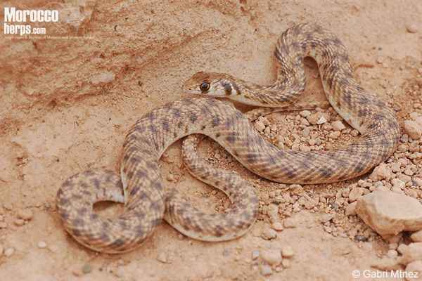 Rhagerhis moilensis