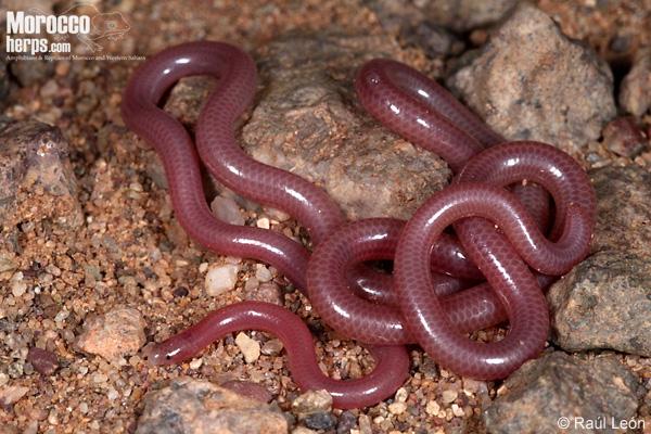 Myriopholis algeriensis
