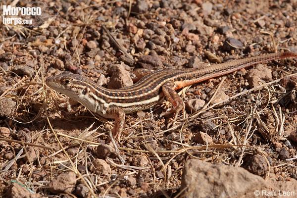 Acanthodactylus erythrurus belli
