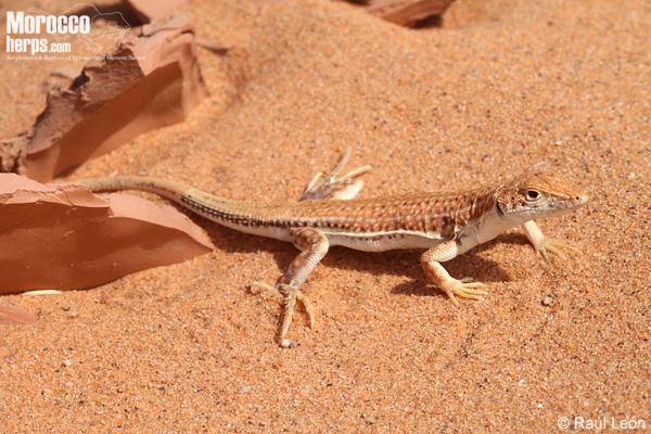 Acanthodactylus longipes o Acanthodactylus dumerili
