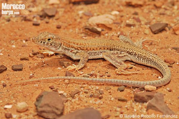 Acantodactylus boskianus