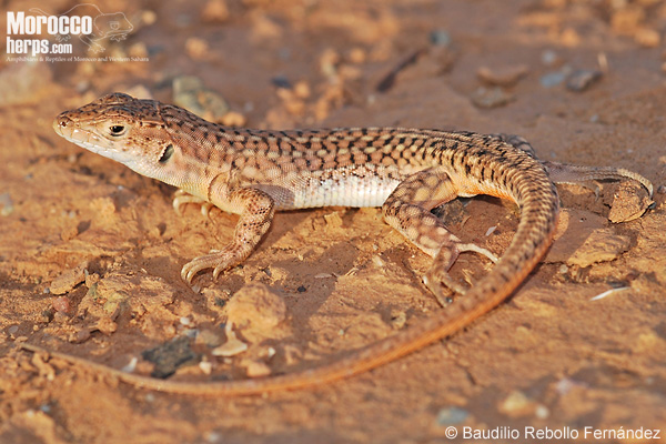 Acanthodactylus pardalis