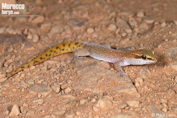 Saurodactylus brosseti