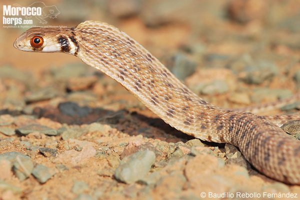 Rhageris moilensis