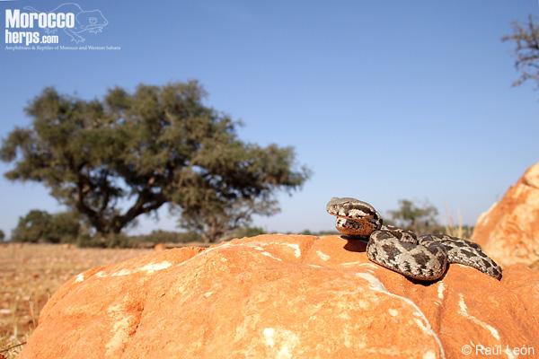Daboia mauritanica