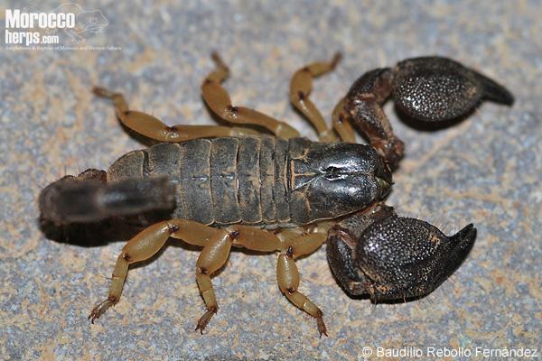 Escorpión del género Scorpio