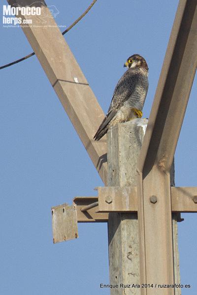 Falco pelegrinoides