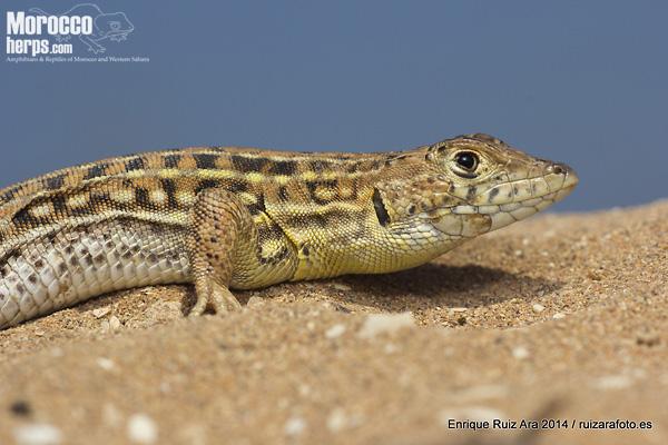 Acanthodactylus erythrurus atlanticus