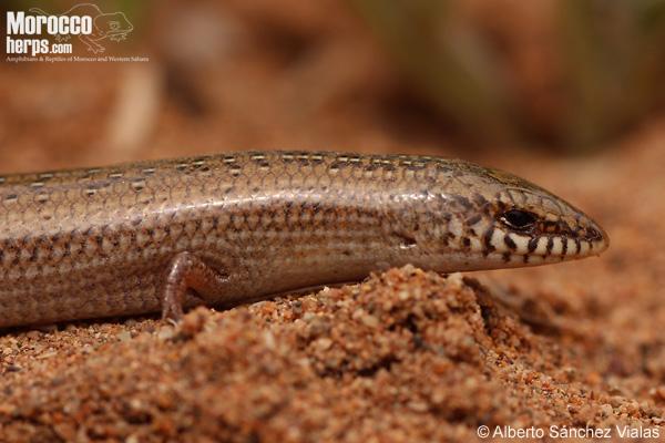 Chalcides mionecton trifasciatus